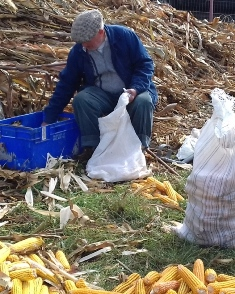 Harvesting maize the traditional way